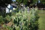 Garden week 6- peas